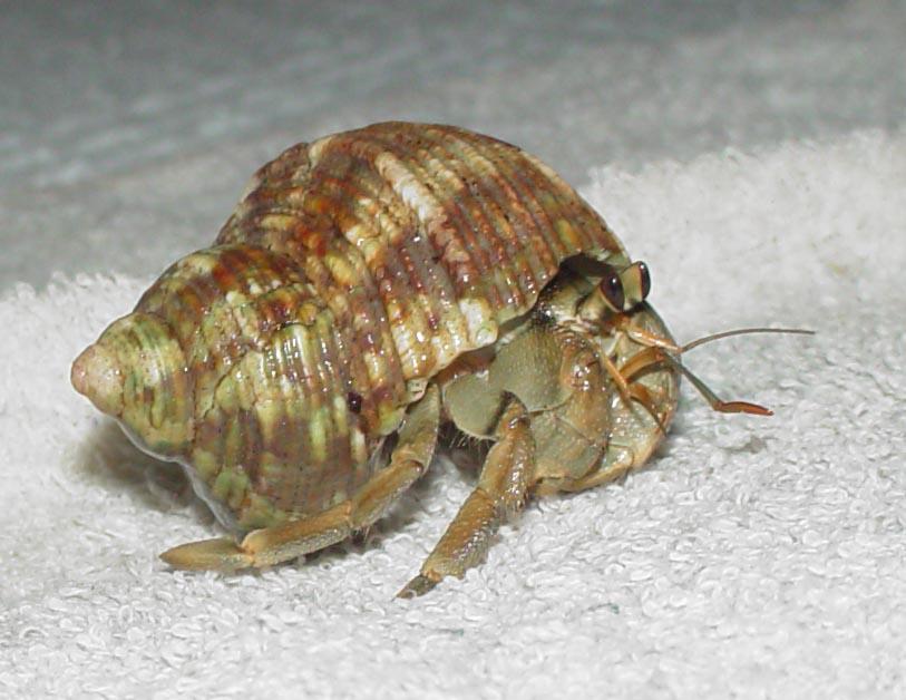 Glass Hermit Crab Shells Hermit Crabs Shells Images