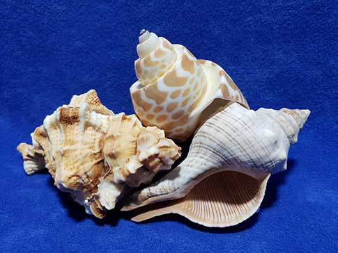 Three stacked seashells on a blue background.