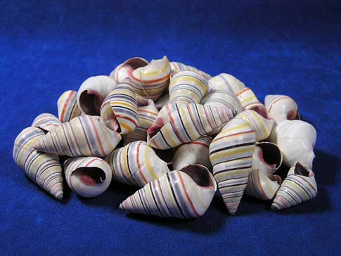 Candy striped Hatian tree snails aka rainbow shells.