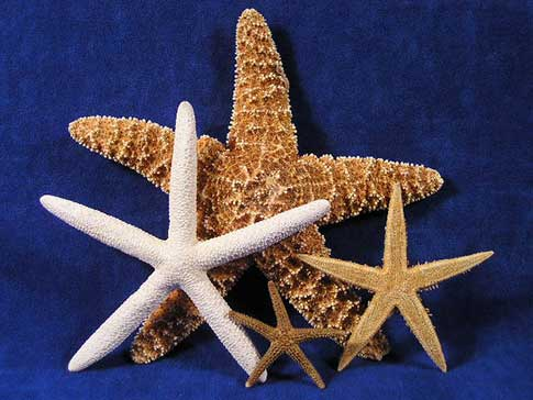 Starfish collection includeds one sugar, pencil, tan, and Florida starfish.