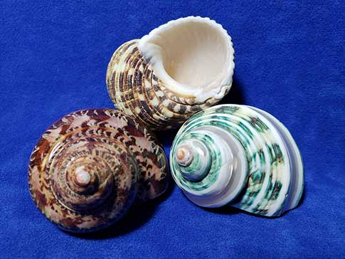Three pack of large turbo shells for hermit crabs.