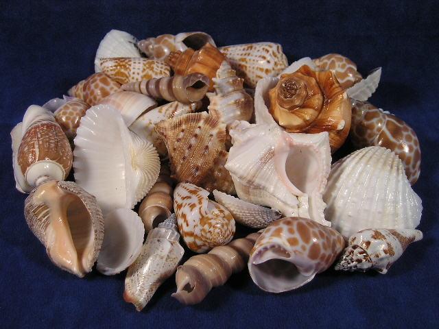 India mix large seashells for Large seashells for crafts